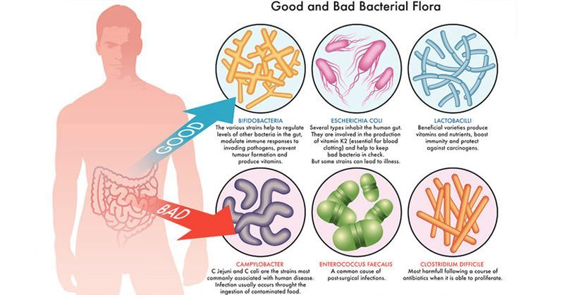 Gut bacteria obesity study
