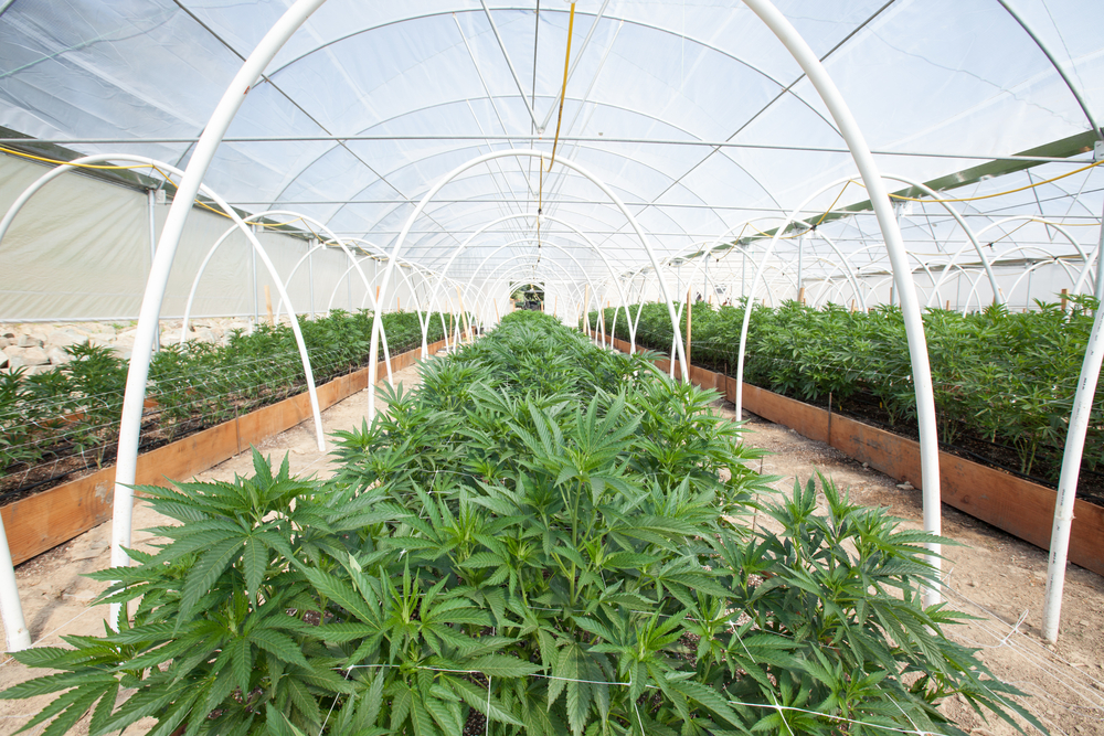 5 Of The Best Cbd Flower Strains To Cultivate In 2019